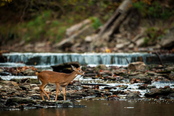 Photograph - Yearling On Indian Creek by Jeff Phillippi
