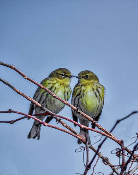 Yellow-rumped Warbler Photograph - Yelloew Rumped Warblers by Joe Granita