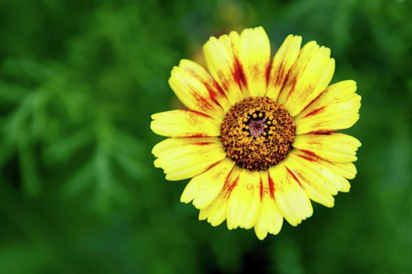 Photograph - Yellow African Daisy by Helen Northcott