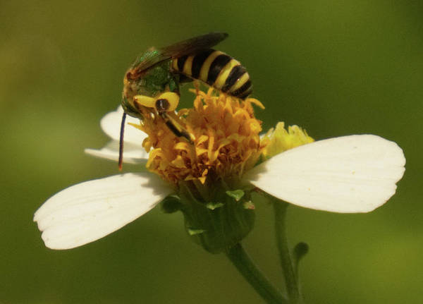 Photograph - Yellow And Black Bee On Flower. by Vincent Billotto
