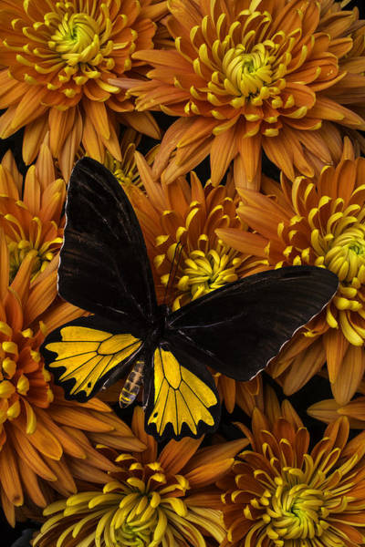 Mum Photograph - Yellow And Black Butterfly On Mums by Garry Gay
