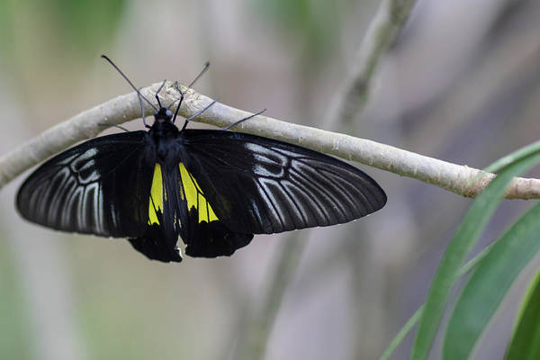Photograph - Yellow And Black Butterfly by Raphael Lopez