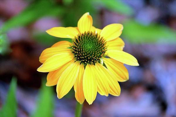 Photograph - Yellow And Lime Coneflower by Cynthia Guinn