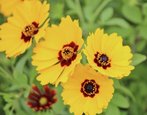 Photograph - Yellow And Maroon Centers by Cynthia Guinn