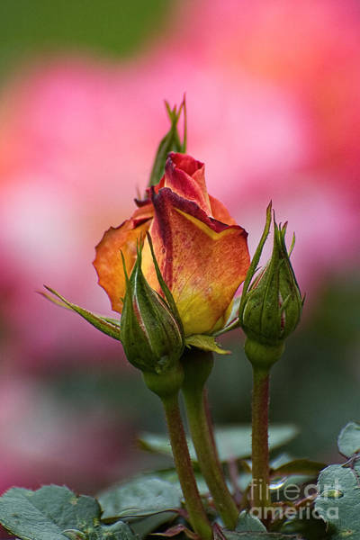 Wall Art - Photograph - Yellow And Pink Rose by Edward Sobuta