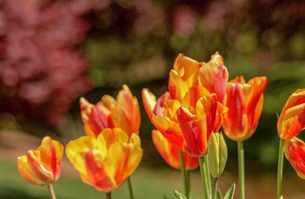 Photograph - Yellow And Red Tulips by Keith Smith