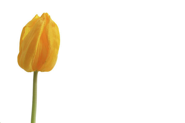 Photograph - Yellow And Tulip by Marie Leslie