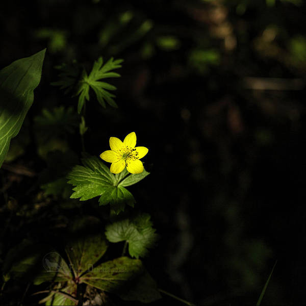 Photograph - Yellow Anemone by Fred Denner