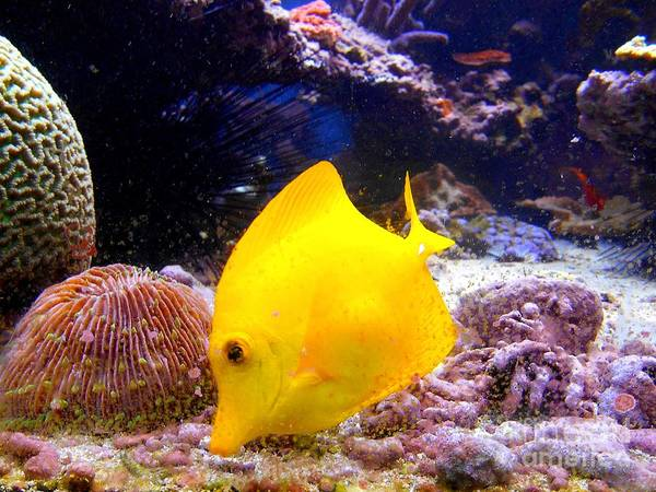 Photograph - Yellow Angel Fish by Christopher Shellhammer