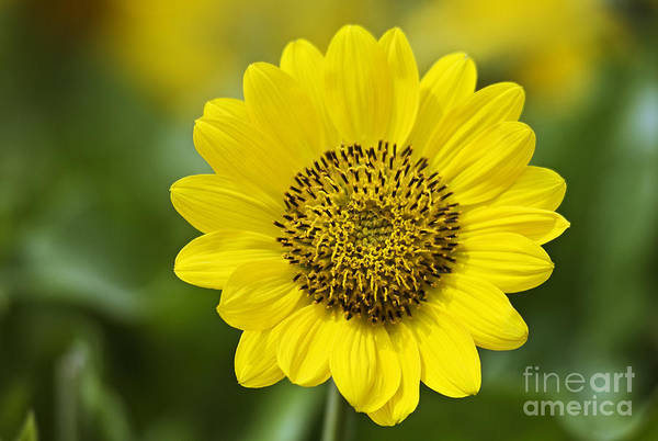 Rowena Photograph - Yellow Arrowleaf Balsamroot by Greg Vaughn - Printscapes