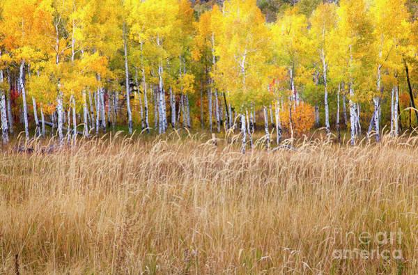 Photograph - Yellow Aspen Grove by David Millenheft