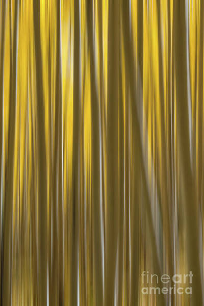 Photograph - Yellow Aspen Tree Abstract  by Michael Ver Sprill