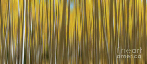 Photograph - Yellow Aspen Tree Abstract Panorama  by Michael Ver Sprill