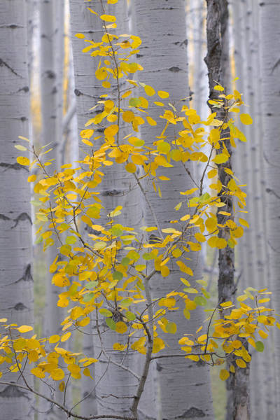Wall Art - Photograph - Yellow Aspen Tree by Ronda Kimbrow