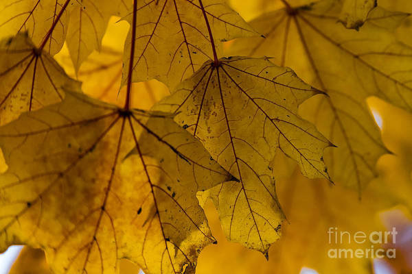 Photograph - Yellow Autumn Leaves by Alissa Beth Photography