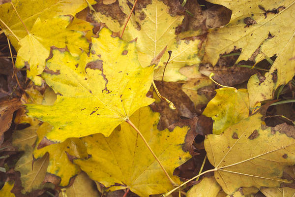 Fallen Leaves Photograph - Yellow Autumn Leaves by Thubakabra