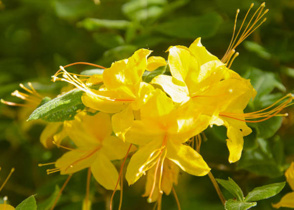 Photograph - Yellow Azaleas by Kristin Hatt