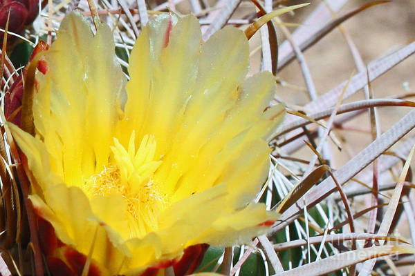 Photograph - Yellow Barrel Cactus Flower by Kelly Holm