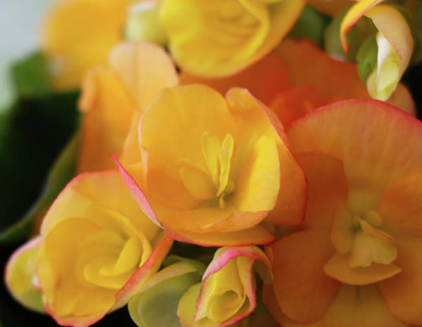 Photograph - Yellow Begonia Flower by Cristina Stefan