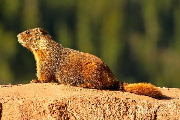 Photograph - Yellow Bellied Marmot by Adam Jewell