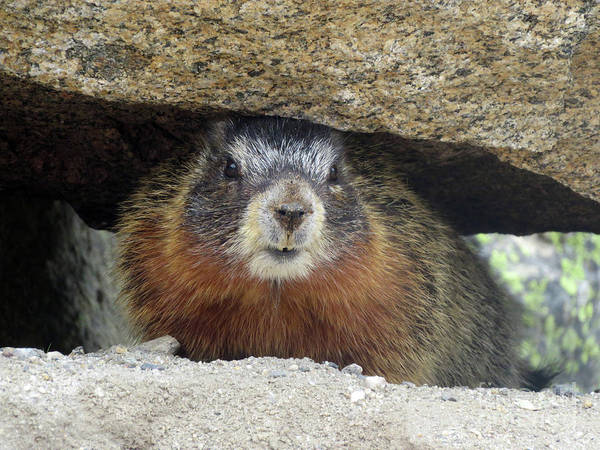 Photograph - Yellow Bellied Marmot by Cindy Murphy - NightVisions