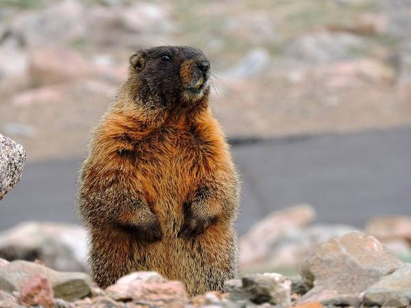 Marmot Photograph - Yellow-bellied Marmot by Connor Beekman
