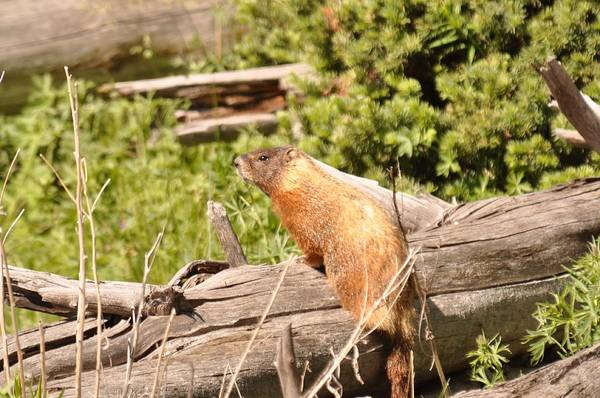 Photograph - Yellow Bellied-marmot by Frank Madia