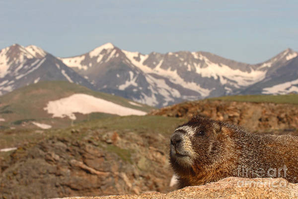 Wall Art - Photograph - Yellow-bellied Marmot In Mountain Meditation by Max Allen