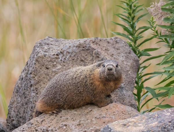 Photograph - Yellow Bellied Marmot by Loree Johnson