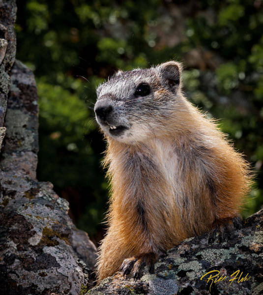 Photograph - Yellow-bellied Marmot by Rikk Flohr