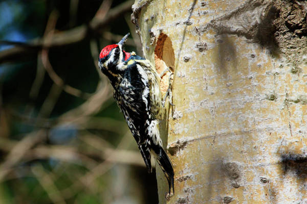 Hockley Valley Photograph - Yellow-bellied Sapsucker 2 by Gary Hall