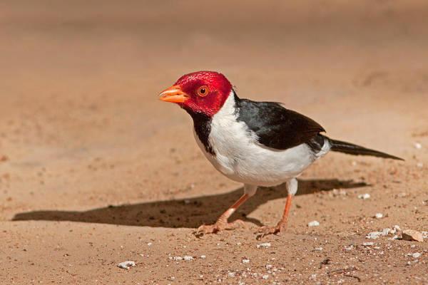 Photograph - Yellow-billed Cardinal by Aivar Mikko