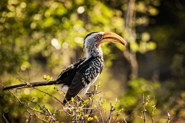 Photograph - Yellow-billed Hornbill by Stefan Nielsen