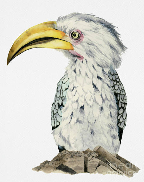 Hornbill Painting - Yellow-billed Hornbill Watercolor Painting by NamiBear