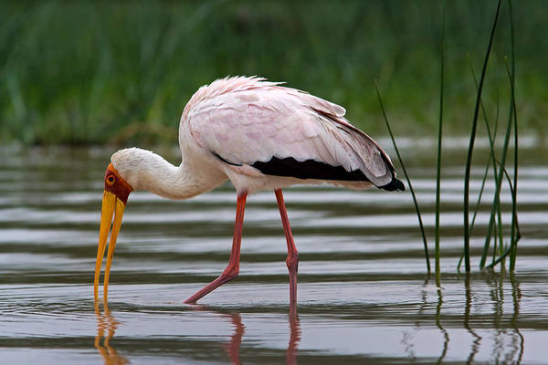 Photograph - Yellow-billed Stork, Lake Baringo by Aivar Mikko