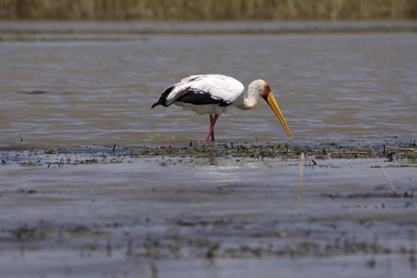Photograph - Yellow Billed Stork, Great Rift Lakes, Ethiopia by Aidan Moran