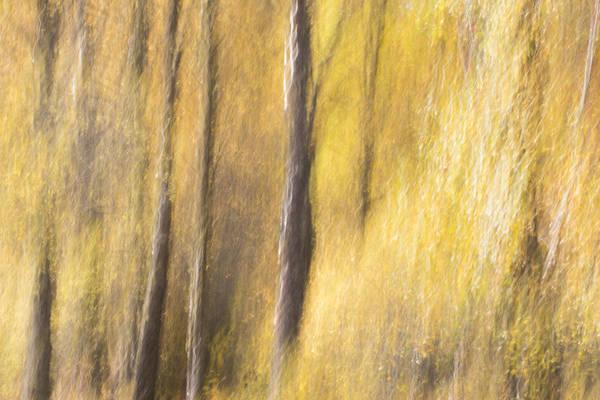 Photograph - Yellow Birch Trees by Karen Van Der Zijden