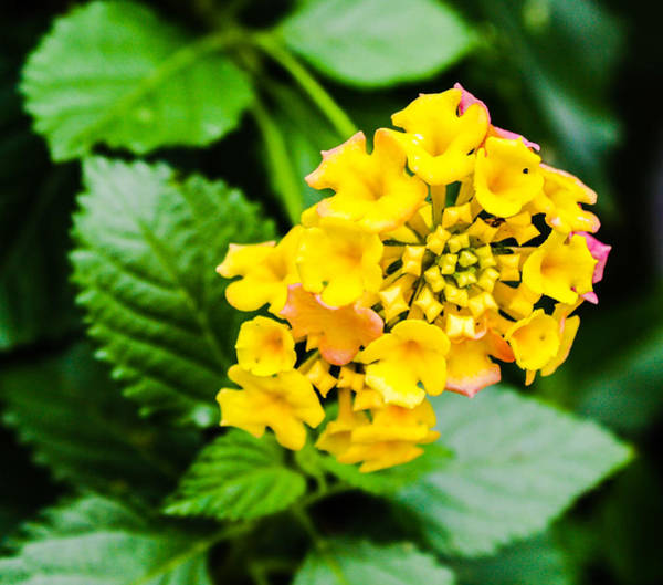 Photograph - Yellow Bloom by Stacey Rosebrock