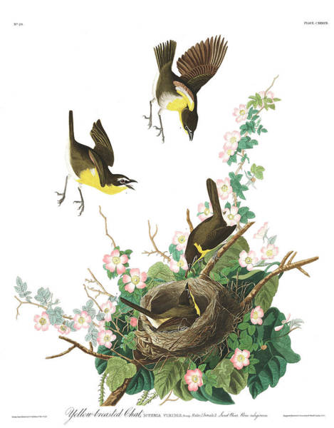Chat Painting - Yellow-breasted Chat by James Audubon