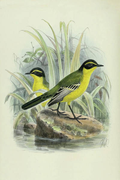 Bird Watercolor Mixed Media - Yellow Browed Wagtail By Thorburn by Archibald Thorburn