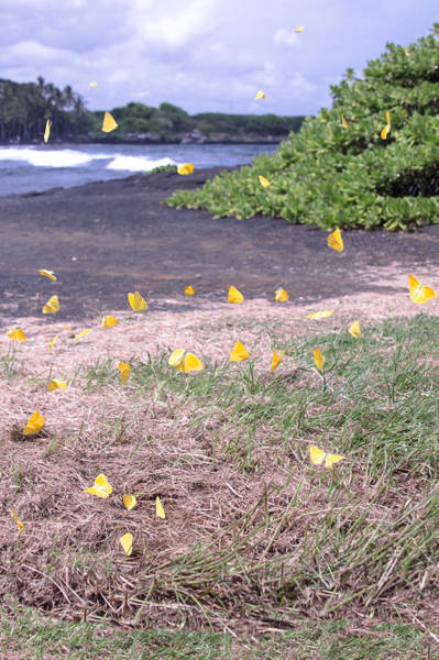 Photograph - Yellow Butterflies At The Beach by Wes Jimerson