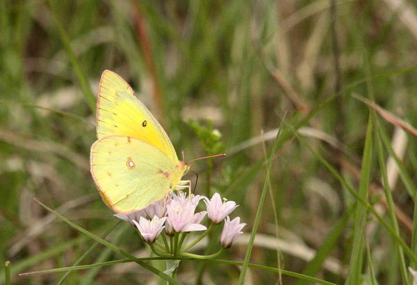 Photograph - Clouded Sulphur Butterfly In Field by Sheila Brown