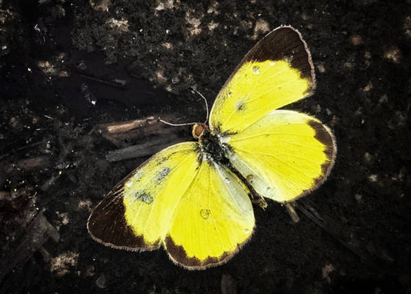 Photograph - Yellow Butterfly  by Nathan Little