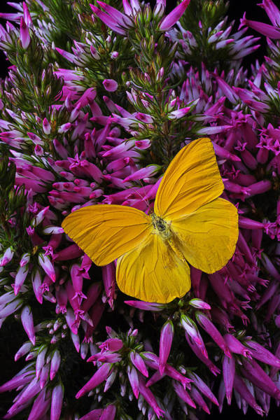 Softly Photograph - Yellow Butterfly On Italian Ventricosa by Garry Gay