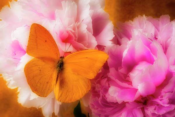 Photograph - Yellow Butterfly On Pink Peony by Garry Gay