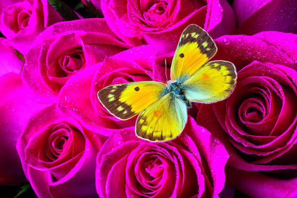 Wall Art - Photograph - Yellow Butterfly On Pink Roses by Garry Gay
