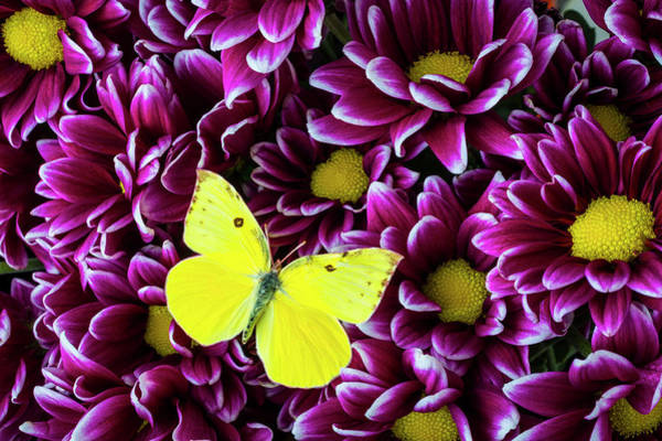 Photograph - Yellow Butterfly On Purple Poms by Garry Gay
