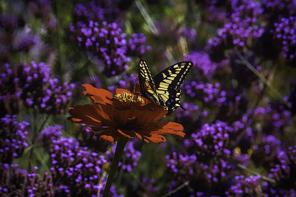 Mum Photograph - Yellow Butterfly On Red Petals by Garry Gay