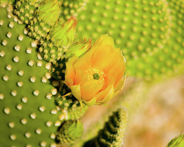 Photograph - Yellow Cactus Flower by Bill Barber