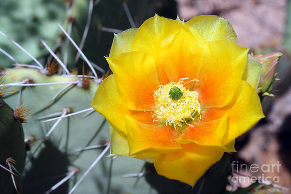 Photograph - Yellow Cactus Flower by Kelly Holm
